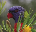 Image of a Rosella parrot